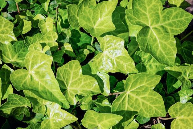 自然の緑のツタの葉の質感