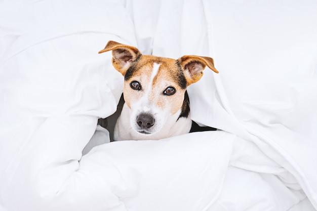 白い羽毛布団に包まれた魅力的な犬のジャックラッセルのビューの上