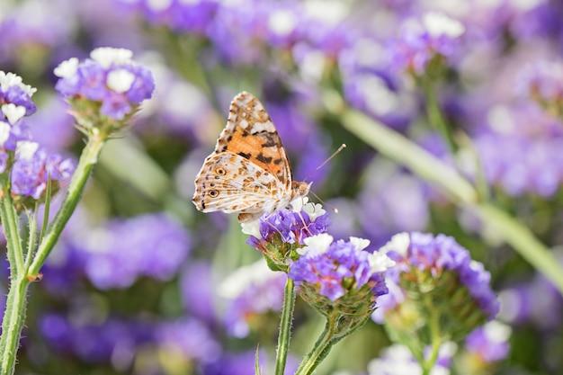 Крупным планом красивая бабочка или с закрытыми крыльями, едят медвяная роса