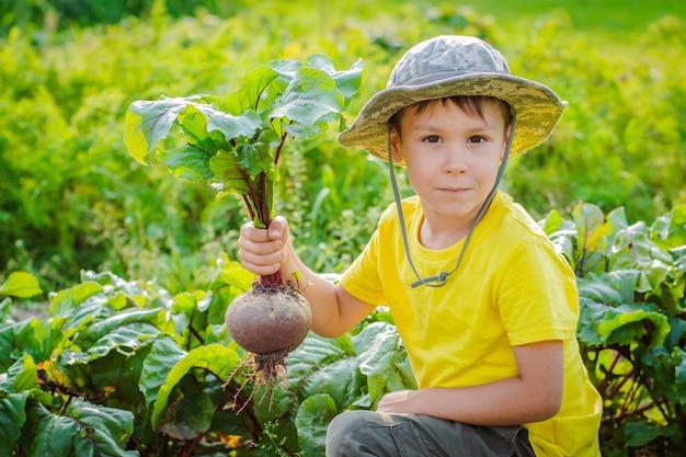 Милый маленький мальчик держит кучу свежих органических моркови и свеклы в домашнем саду