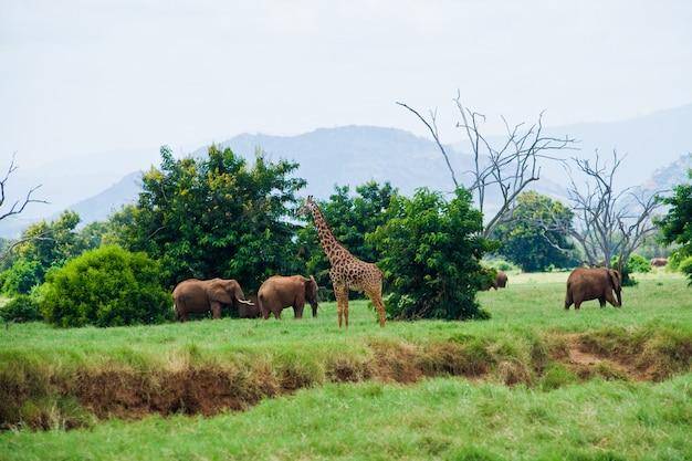 Слоны и жираф саванна