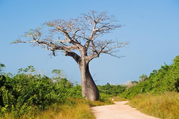 Большое баобабовое дерево возле дороги саванны