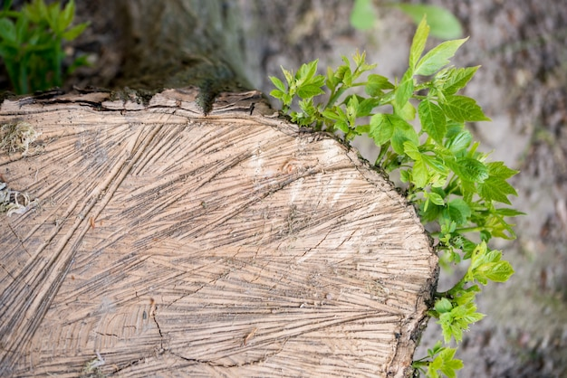針葉樹林、美しい風景の中の苔で覆われた古い木の切り株。