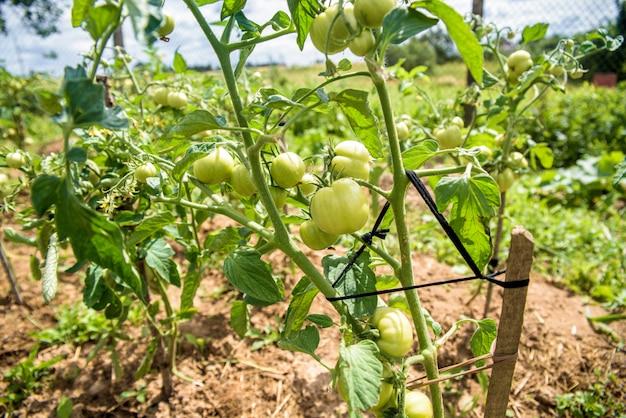 木の棒に結びついた緑のトマトの茂み、自分の畑で育てられた有機食品。ウクライナの村での生活