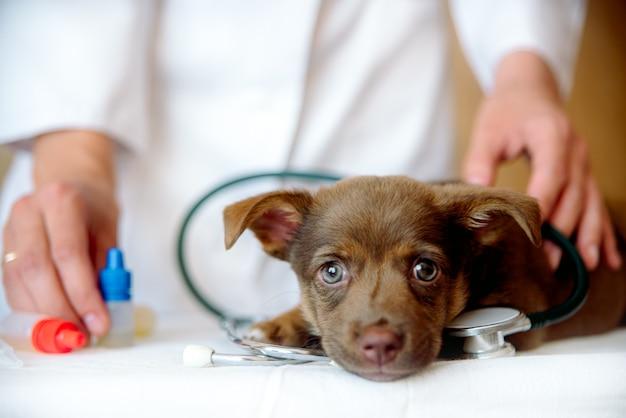 クリニックでスピッツ犬の健康状態を調べる女性獣医