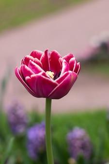 春の花はピンクのチューリップです。美しいピンク色の花。