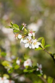 Ветка цветущего вишневого куста. цветущее растение. белые цветы. весенний куст.