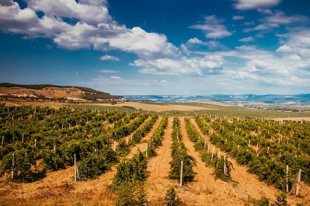 山の低地のブドウ園。クリミアのブドウ畑。クリミア。夏の風景。