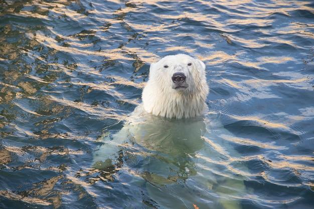水の中に動物園でホッキョクグマ