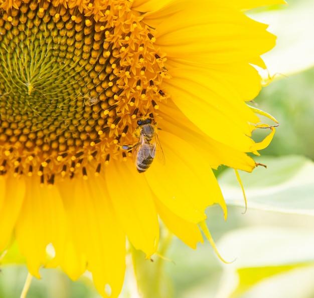 大きなひまわりに蜂