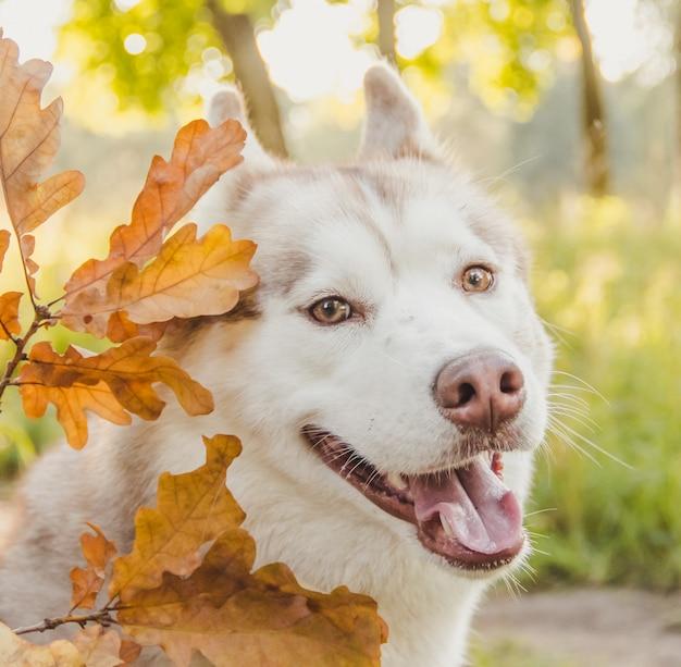 秋の公園で若いハスキー犬