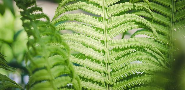 シダの葉緑の植物の葉