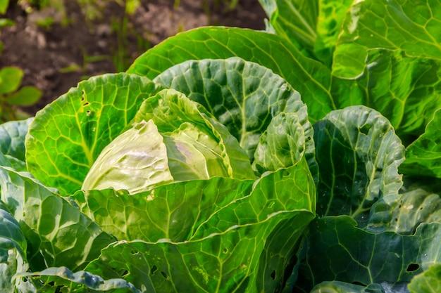 庭のキャベツ。庭の野菜。家の収穫。非遺伝子組み換え野菜。