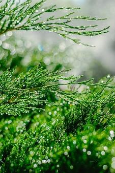 ジュニパーに露の滴。夏の太陽の下で緑のジュニパーの枝。