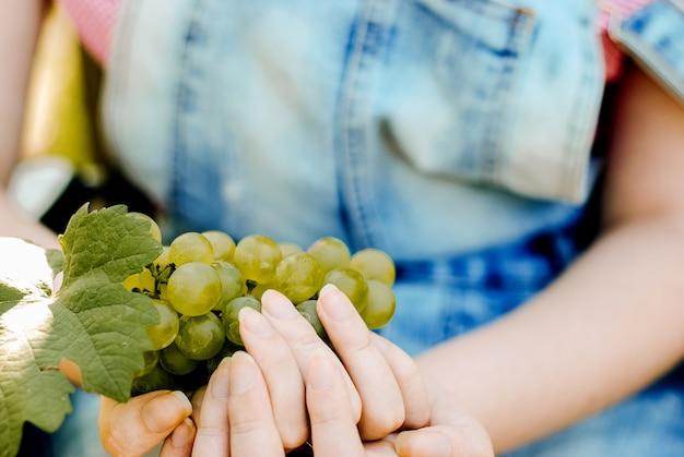 ブドウの収穫農民は収穫したてのブドウを手にします。