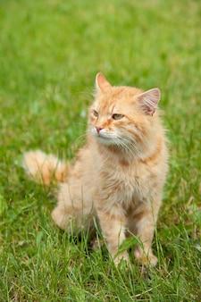 かわいい赤オレンジ色のふわふわ猫は緑の芝生の夏の庭で屋外に座っています