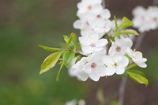 ぼやけた自然の背景の上の桜。春の花。ボケ味を持つ春の背景