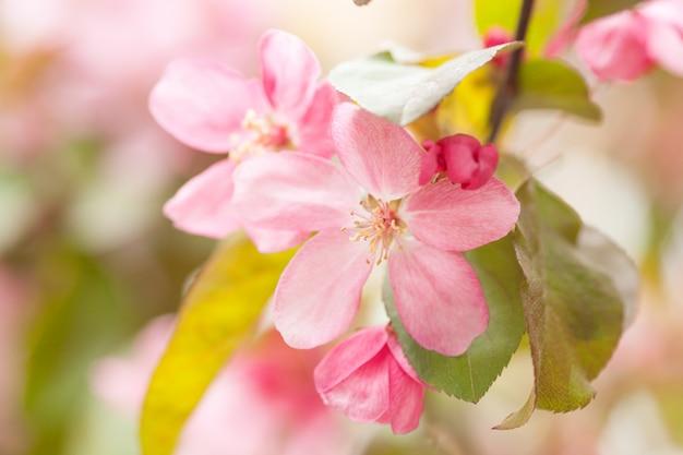 Китайское цветение краб-яблони цветёт.