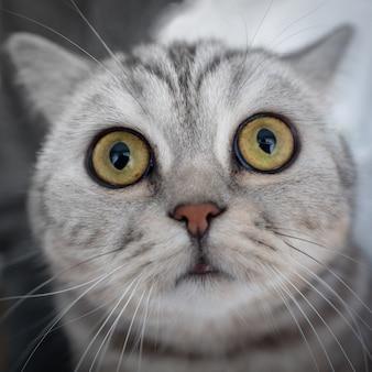 驚いた縞模様の猫はカメラをまっすぐ見て、鼻を嗅ぎます。猫の、魚眼レンズの肖像画。