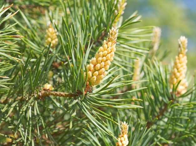 松、開花、受粉の緑の春枝。花粉アレルギー。閉じる