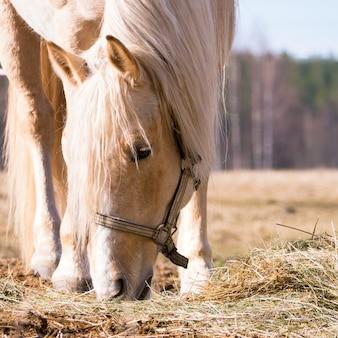 乾いた干し草を食べる雌馬