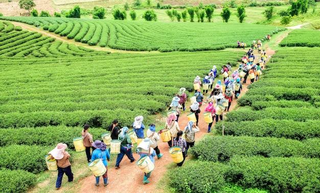 農園、チェンライ、タイの茶葉を摘みのティーピッカーの群衆