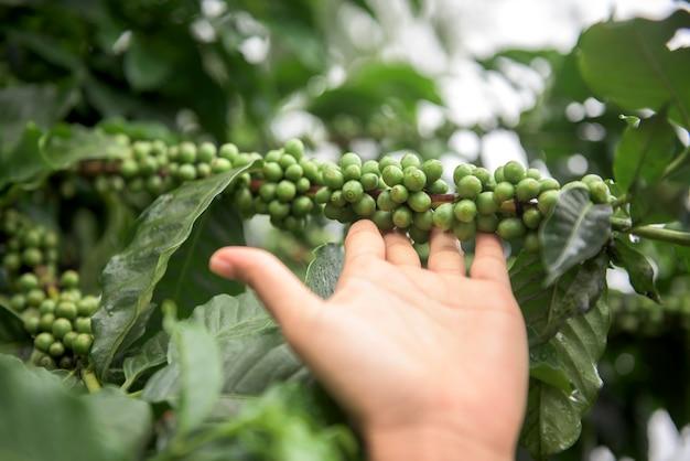 チェンマイ、タイの枝に成長している緑のコーヒー豆