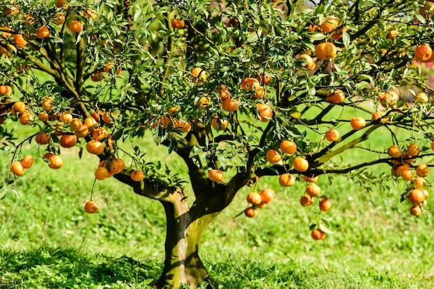 Органические плоды кумквата на дереве