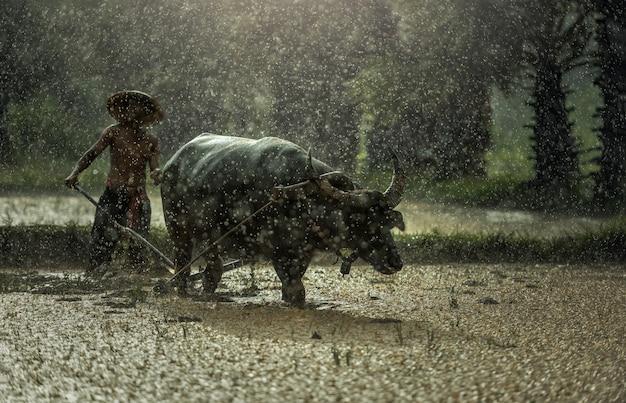 雨の中の農家。農家は雨期に米を栽培します。