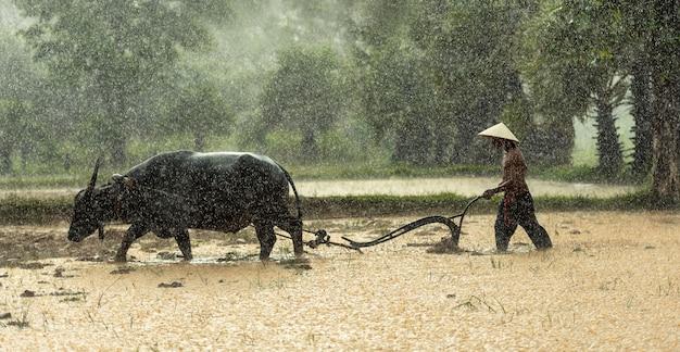 農家は雨期に米を栽培します。