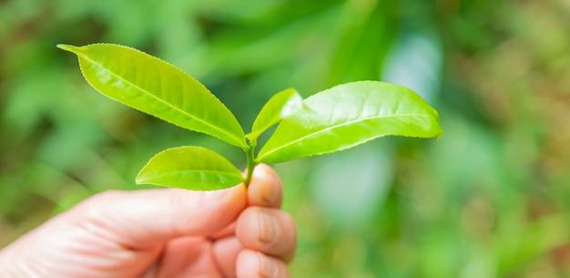 スリランカの茶畑で栽培されているお茶。