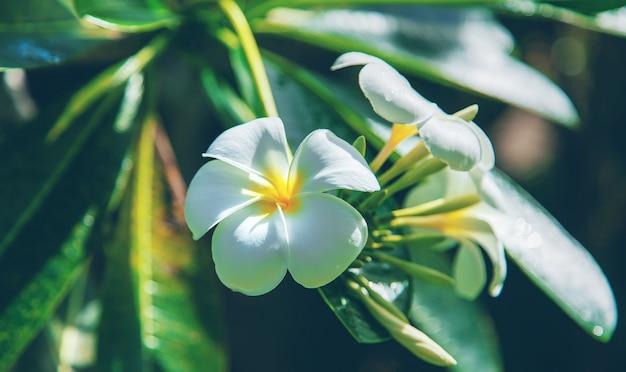 木の美しい白いプルメリアの花。