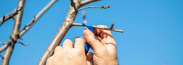 Прививка деревьев весной.