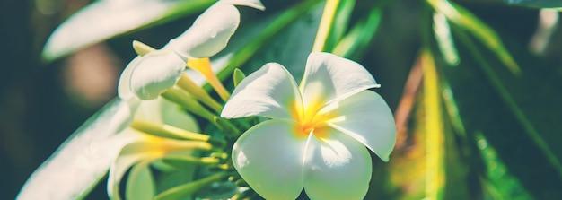 Красивые белые цветы плюмерии на дереве