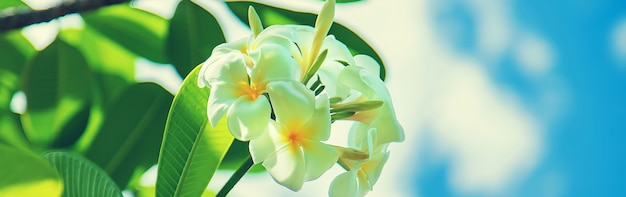 木の美しい白いプルメリアの花
