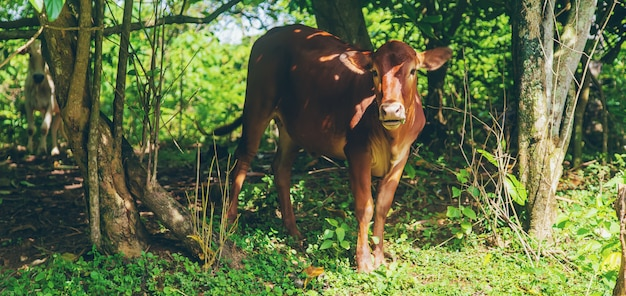 自然の中でインドの神聖な牛
