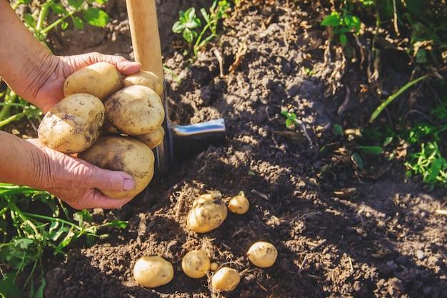 В саду собирают урожай картофеля с лопатой.