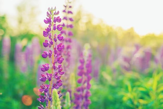Цветущее поле люпинов летом