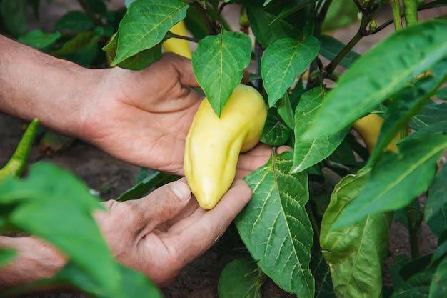 男性のピーマンの手の中に有機の自家製野菜。