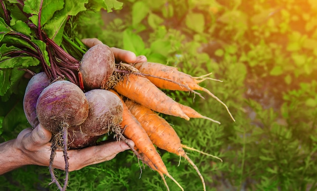 Органические домашние овощи в руках мужчин.