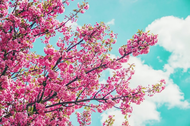 Цветущая сакура в ботаническом саду. выборочный фокус.
