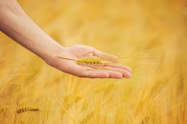 子供と父の麦畑での手。セレクティブフォーカス