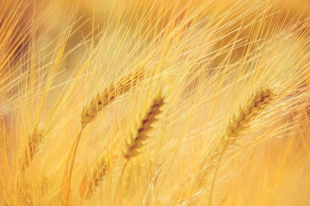 Поле пшеницы. выборочный фокус. природа.