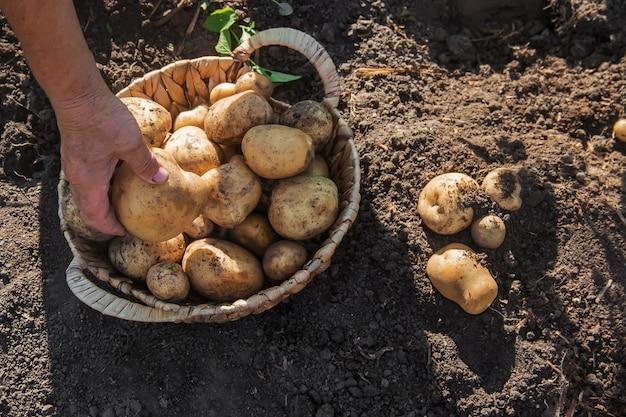 Органические домашние овощи урожай картофеля. выборочный фокус.