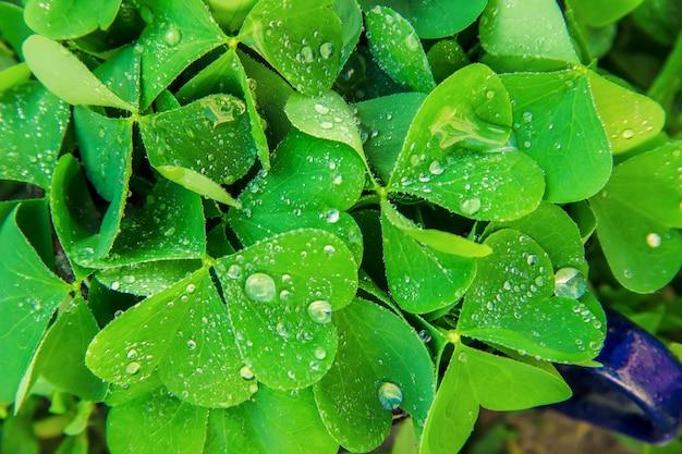 クローバーの葉