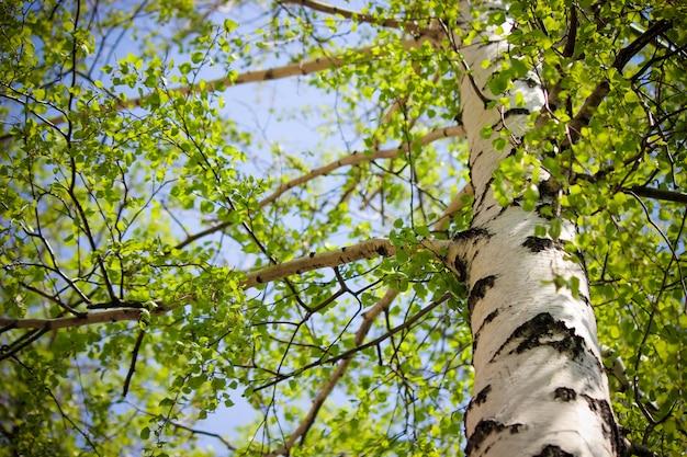 春、日光の下でバーチ。セレクティブフォーカス