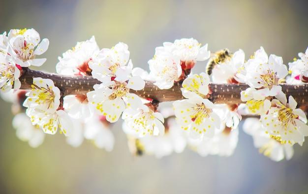Весеннее цветение деревьев. цветущий сад. выборочный фокус природы