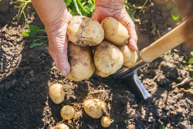 自家製有機野菜はジャガイモを収穫します。セレクティブフォーカス