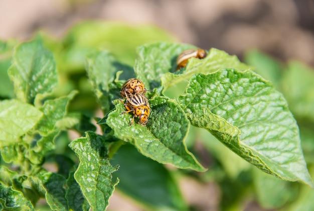 Выращивание картофеля колорадских жуков. выборочный фокус.