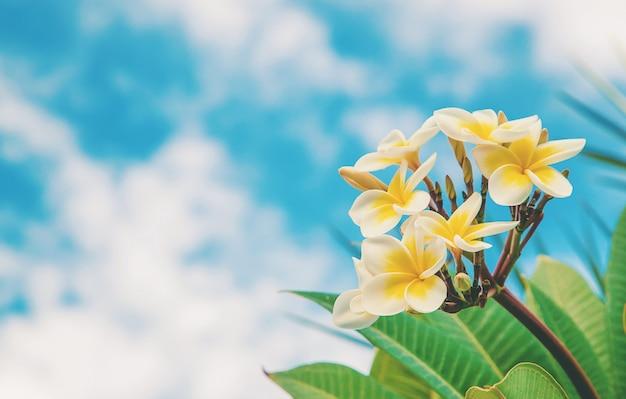 空を背景に咲くプルメリアの花。